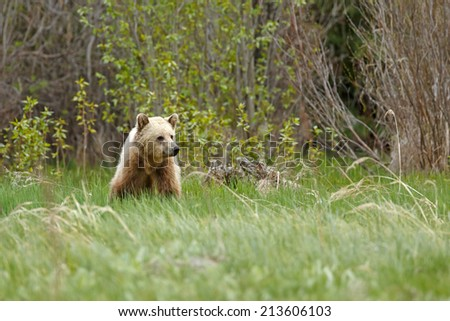Grizzly bear in light color - stock photo