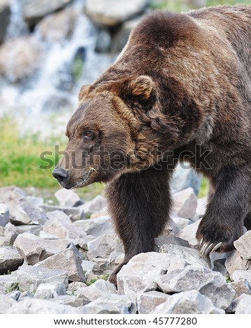 Grizzly Bear on the rocks - stock photo