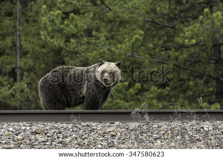 Grizzly Bear on Train Tracks in Banff National Park - stock photo