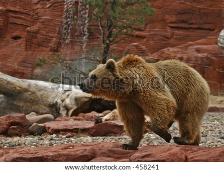 Grizzly Bear pacing in his compound - stock photo