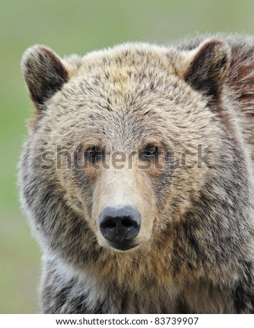 Grizzly Bear Portrait - stock photo