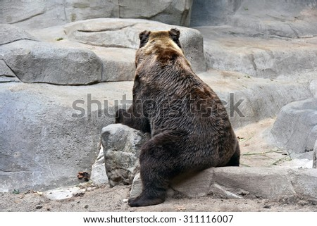grizzly bear sitting backwards on a rock - stock photo