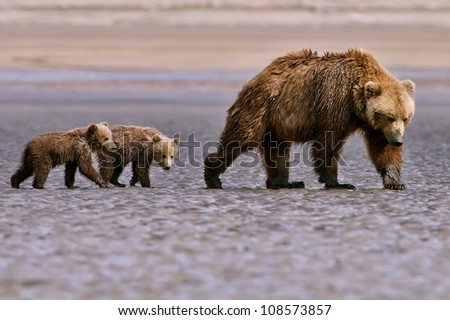 grizzly bear sow and two cubs search for clams in tidal flats near lake clark national park, alaska - stock photo