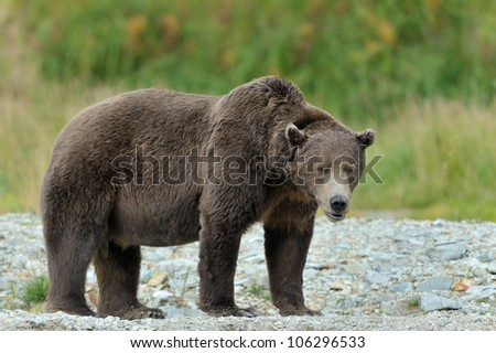 Grizzly Bear standing at river edge. - stock photo