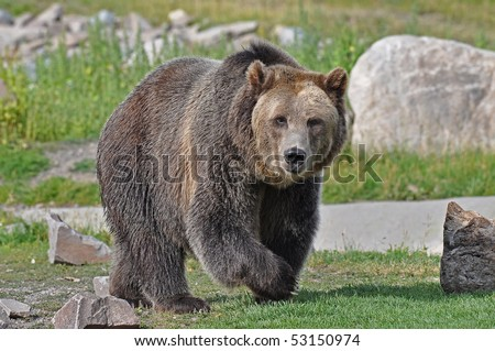 Grizzly Bear Walking - stock photo