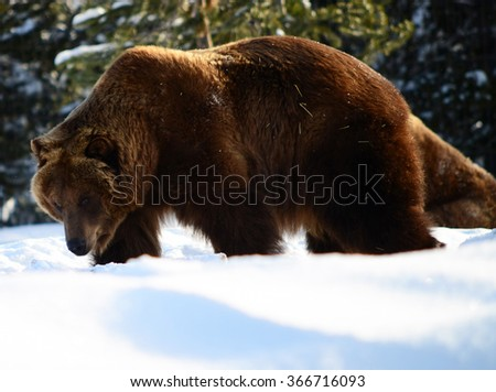 Grizzly bear walking across the snow pack - stock photo