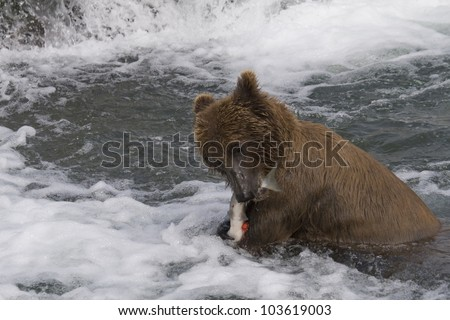 Grizzly Bear with his catch of salmon in Katmai National Park in Alaska - stock photo