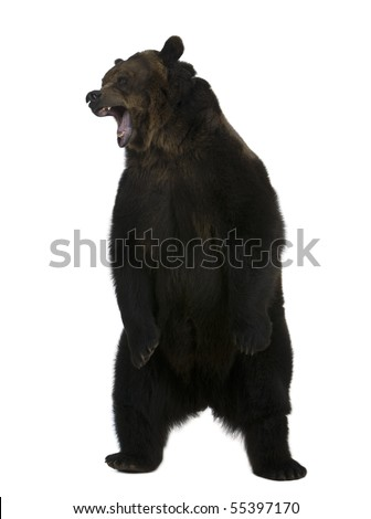 Grizzly Bear Standing Drawing
