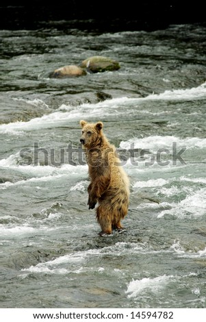 Grizzly bears fishing for salmon, Brooks Falls, Katmai NP, Alaska - stock photo