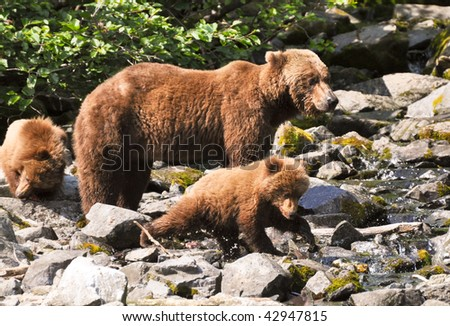 grizzly cubs learning to fish - stock photo