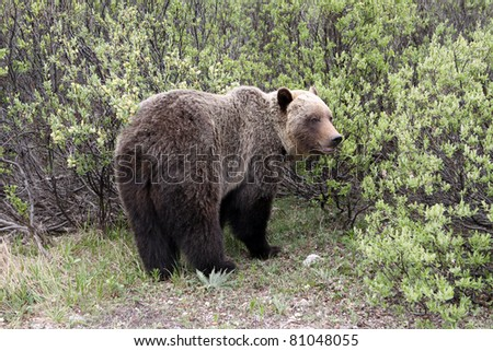 Grizzly in Banff National Park. Canada - stock photo