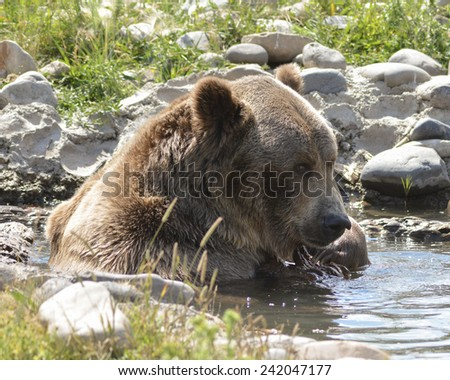 grizzly in creek - stock photo