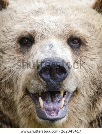 grizzly smile - stock photo