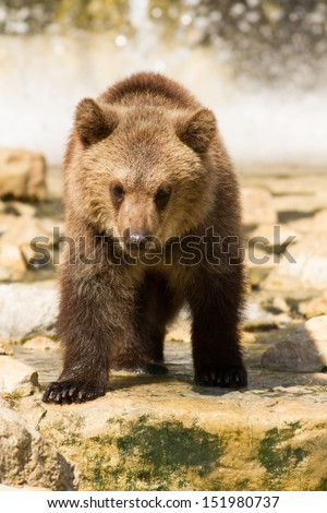 Grizzly (Ursus arctos) bear cubs playing in the water - stock photo