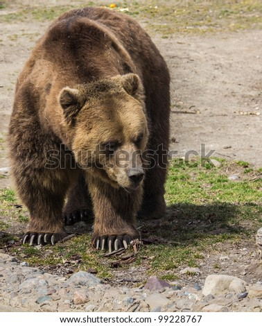 Grizzly walking - stock photo