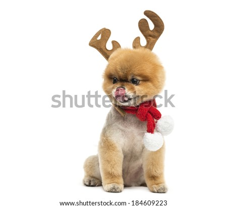Groomed Pomeranian dog sitting and wearing reindeer antlers headband and a Christmas scarf - stock photo