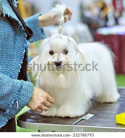 grooming dog The Maltese is a small breed of dog in the Toy Group. It descends from dogs originating in the Central Mediterranean Area. The coat is long and silky and lacks an undercoat. - stock photo