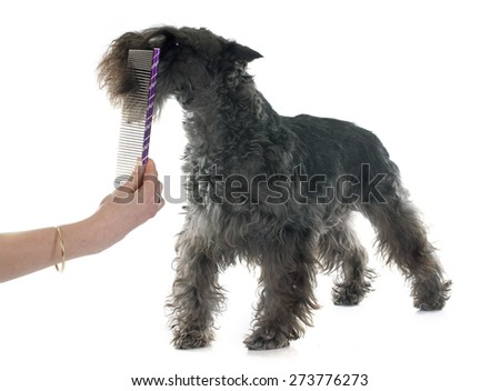 grooming of miniature schnauzer in front of white background - stock photo