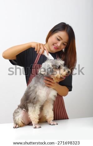 Grooming the Schnauzer dog - stock photo