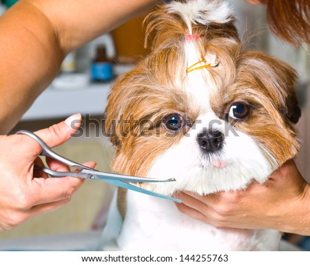 Grooming the Shih Tzu dog - stock photo