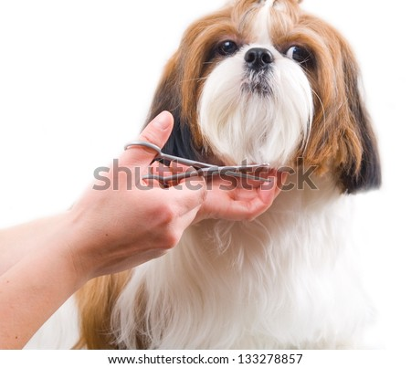 Grooming the Shih Tzu dog isolated on white - stock photo