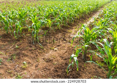 Groove of the soil for a way to grow and care for crops of corn. - stock photo