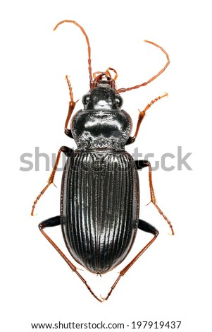Ground beetle (Abax parallelepipedus) specimen - extreme close up of whole body,  top down view, isolated on white - stock photo