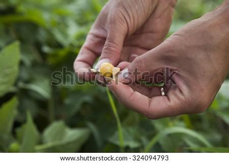 Ground Cherries - stock photo