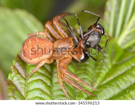 Ground crab spider, Xysticus feeding on caught ant - stock photo