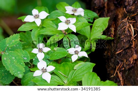 Ground dogwoods bloom next to a log - stock photo