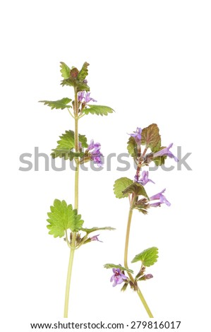 Ground ivy, Glechoma hederacea, wild flower isolated against white - stock photo