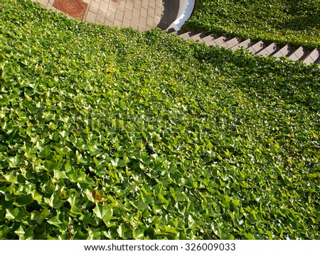 Ground small hill covered completely with lush green ivy  - stock photo