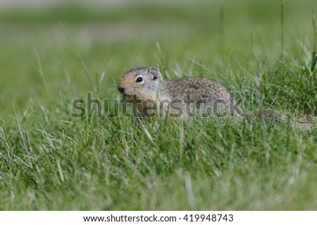 Ground Squirrel in Glacier National Park, Montana - stock photo