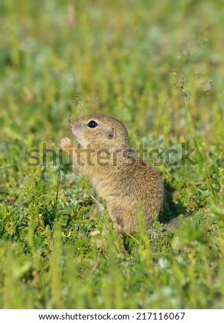 Ground squirrel (Spermophilus citellus) - stock photo