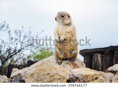 groundhog day. Groundhog emerged from his burrow - stock photo