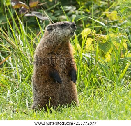 Groundhog (Marmota monax)  - stock photo