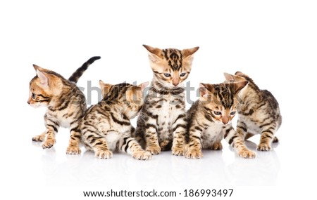 group bengal kittens looking away. isolated on white background - stock photo
