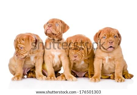 Group Bordeaux puppy dog. isolated on white background - stock photo