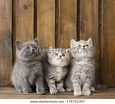 group british shorthair kittens looking up - stock photo