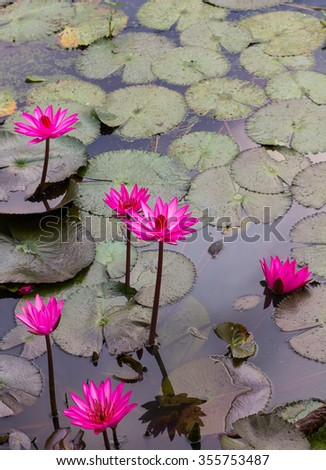 Group Lotus bloom more beautifully often be found in ditches, swamps of Thailand which may be dirty. - stock photo