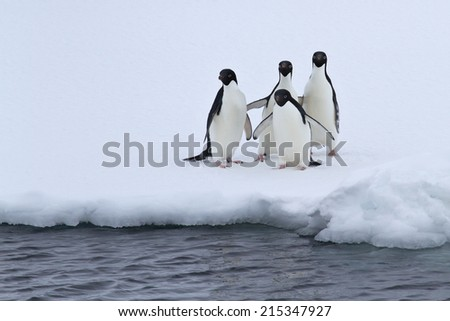 group of Adelie penguins are standing on the edge of the ice in pure water - stock photo