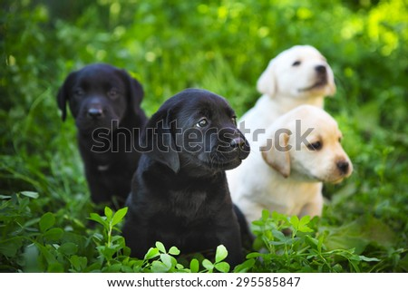 Group of adorable golden retriever puppies in the yard on the green grass - stock photo