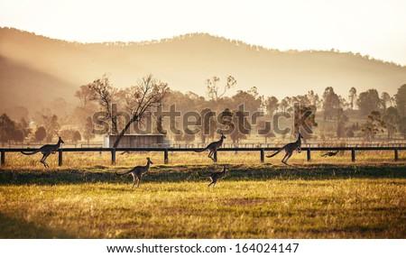 Group of australian kangaroos at Hunter Valley, Australia - stock photo