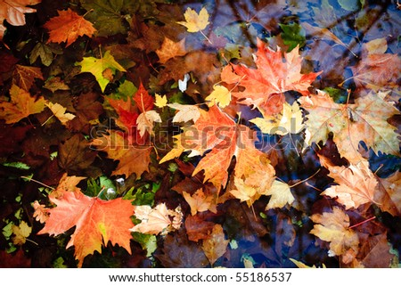 group of autumn leaves floating on the surface of a pond - stock photo