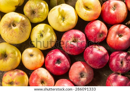 group of autumn yellow and red apples - stock photo