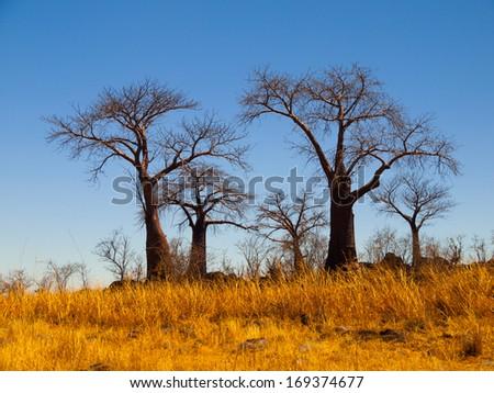 Group of baobab trees in Baobab Paradise near Savuti (Chobe National Park, Botswana) - stock photo