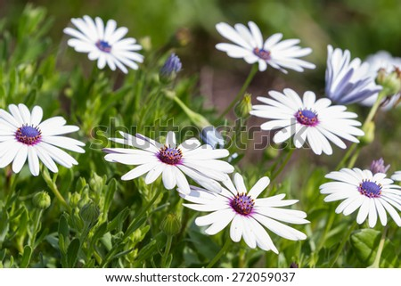 group of beautiful african moon flowers in a garden - stock photo