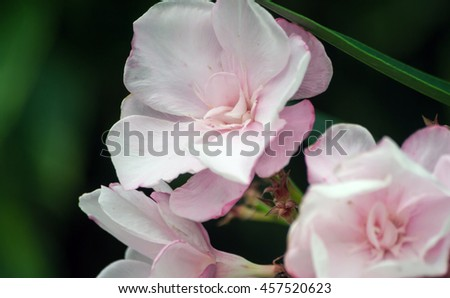 group of beautiful delicate pink exotic, tropical flowers, bunch, three pieces - stock photo