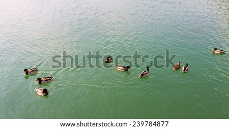 Group of beautiful ducks floating on the water - stock photo