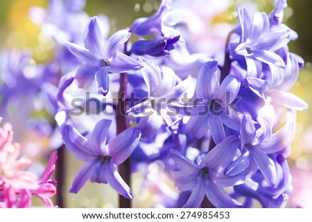 Group of beautiful multicolored hyacinths in garden. Shallow dep - stock photo